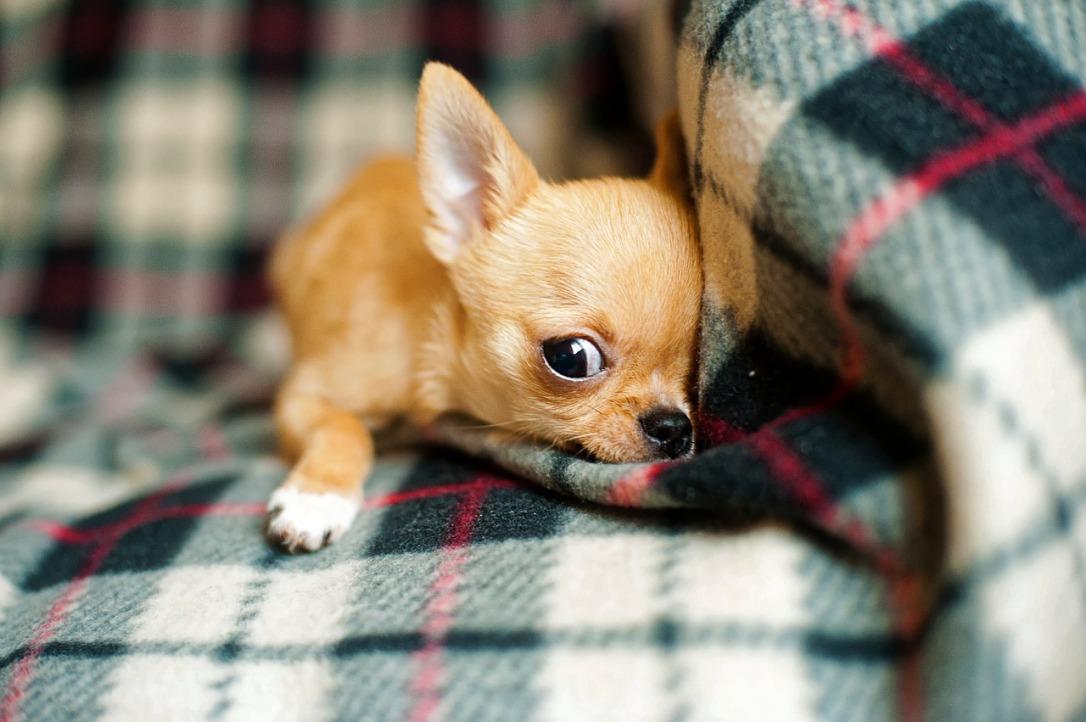 chihuahua-puppy-958203_1280